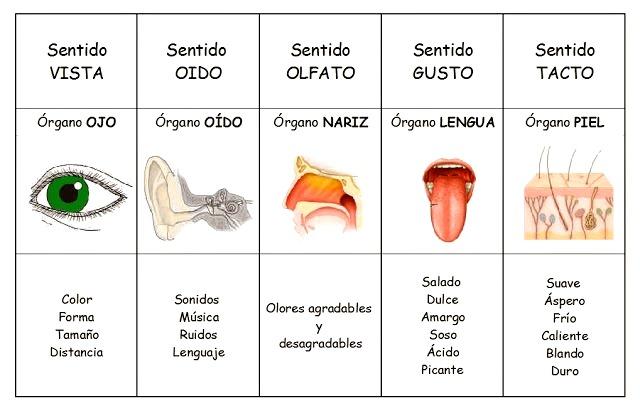 ¿Cuáles son los órganos de los cinco sentidos?